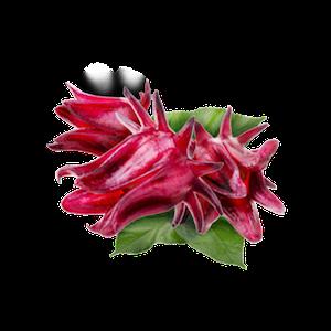 hoa hibicus